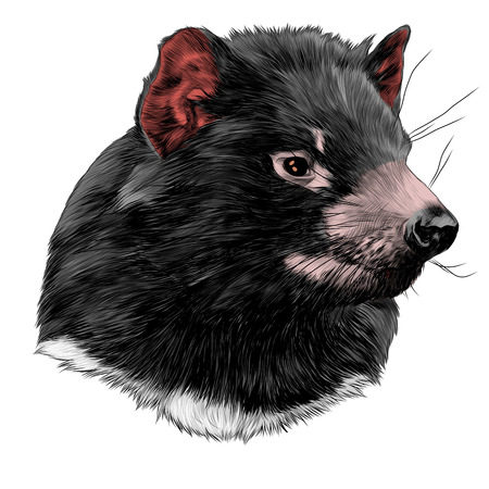 The Tasmanian devil sketch head vector graphics color picture Çizim