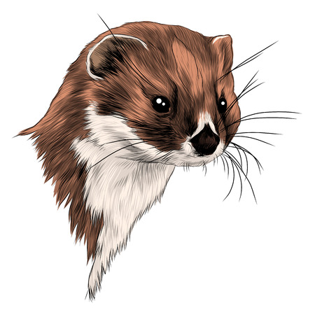 Weasel sketch graphic design. Illustration
