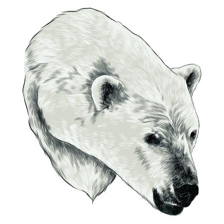 Polar bear head sketch graphic design. Illustration