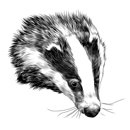 Badger sketch graphic design.