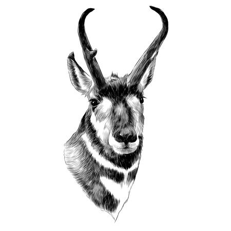 Disegno grafico di schizzo della testa di Pronghorn. Archivio Fotografico - 91604693