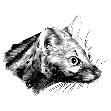 Ferret geneta head sketch graphic design.