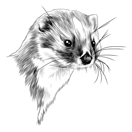 Weasel head sketch graphic design. Ilustracja