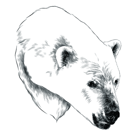 Polar bear head sketch graphic design. Ilustrace