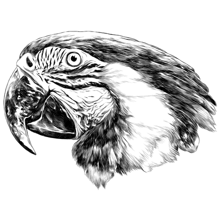 Parrot head illustration sketch. Vector graphics monochrome, colored drawing.
