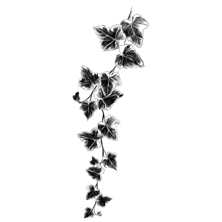 Branch sketch illustration. Vector graphics monochrome, black and white drawing.