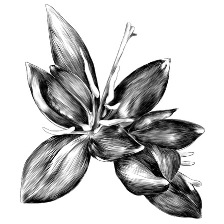the fern flower blooms red pinstripe fern sprout spiral sketch vector graphics monochrome black-and-white drawing