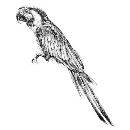 Parrot sketch illustration. Vector graphics monochrome, black-and-white drawing.