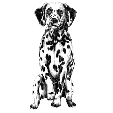 Dalmatians sketch illustration. Vector graphics monochrome, black-and-white drawing.