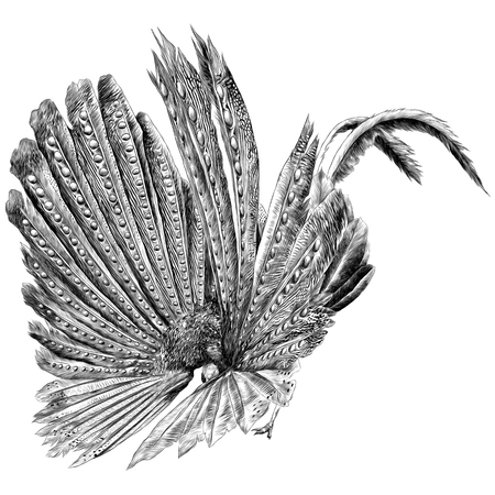 鳥の翼孔雀の羽のスケッチ。ベクターグラフィックモノクロ、白黒描画。