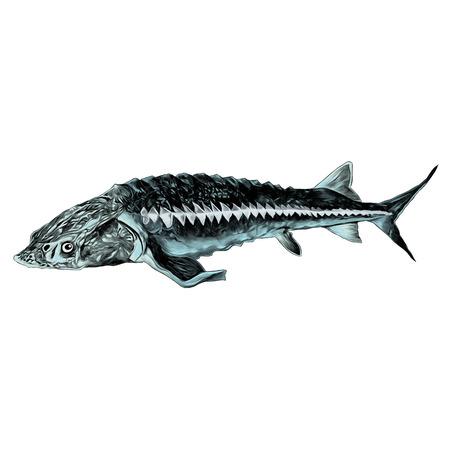 チョウザメ魚スケッチベクトルグラフィックスカラー画像  イラスト・ベクター素材