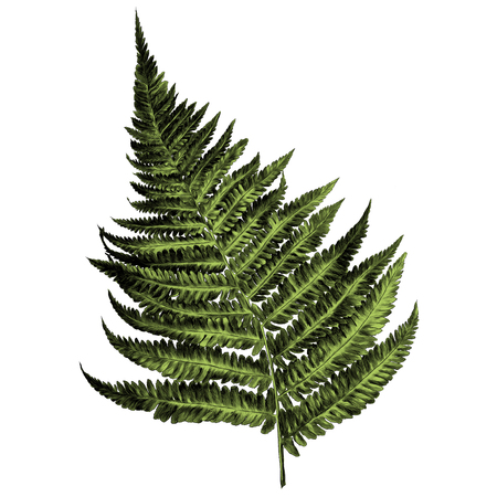 curl fern sprout spiral sketch vector graphics color picture
