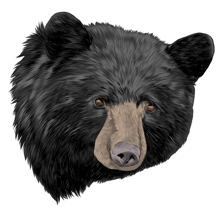 black bear sketch head vector graphics color picture Çizim