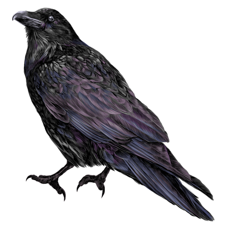 Raven sketch vector graphics color picture