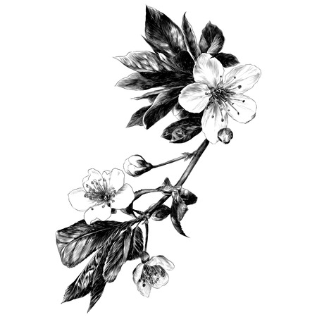 the branches of Apple trees flowers sprouts petals monochrome black-and-white drawing sketch vector graphics