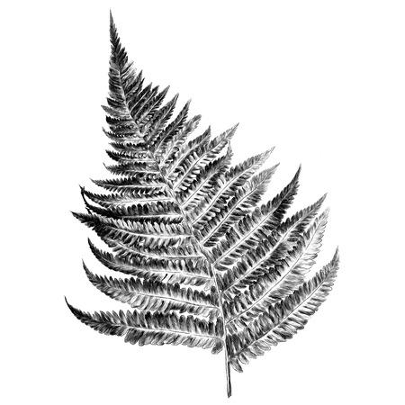 Krul varens sprout spiraal, schets. Vectorafbeeldingen monochroom, zwart-wit tekening.