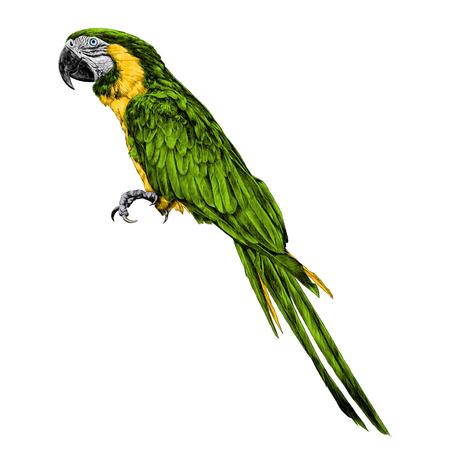 Parrot sketch, vector graphics color picture. Stock Illustratie