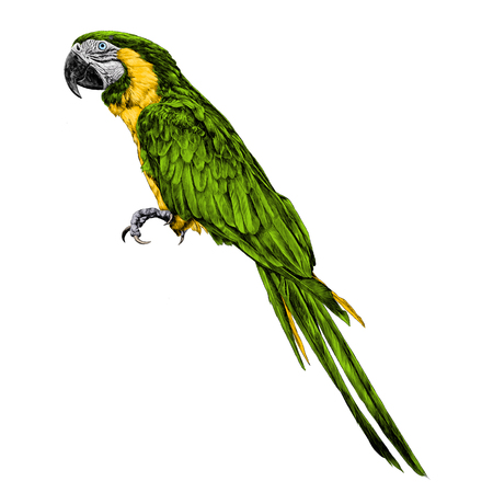 Parrot sketch, vector graphics color picture. 向量圖像