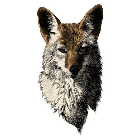 Coyote sketch, head vector graphics. Color picture illustration. Vectores
