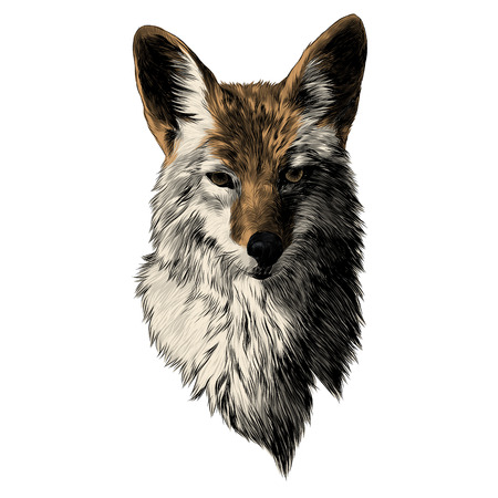 Coyote sketch, head vector graphics. Color picture illustration.