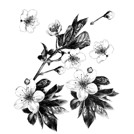 The branches of apple trees flowers sprouts petals. Monochrome black-and-white drawing, sketch vector graphics. 일러스트