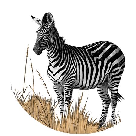 Zebra che sta nell'immagine a colori della grafica vettoriale di schizzo dell'erba asciutta Archivio Fotografico - 95775818