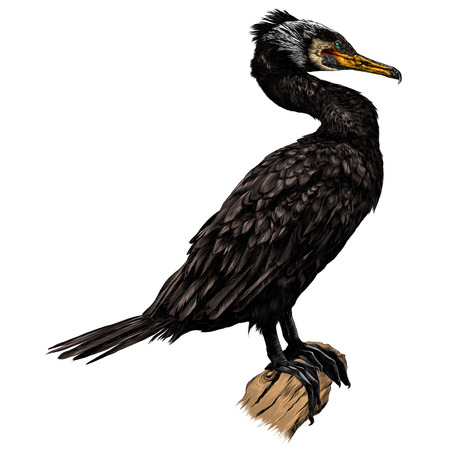 The bird is a cormorant standing at full height on a dry snag sketch graphics colored picture Illustration