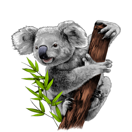 Koala sitting on a eucalyptus snag eats sketch vector graphics color picture Stock Illustratie