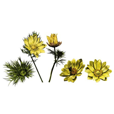 Adonis flower branch sprout petals a bright Sunny sketch vector graphics color picture