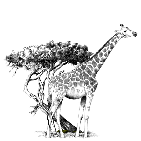 A giraffe standing near a tree sketch graphics, black and white drawing