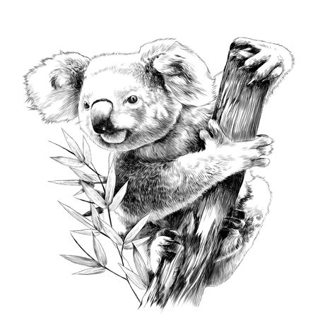 Koala sitting on a eucalyptus snag eats sketch vector graphics monochrome drawing
