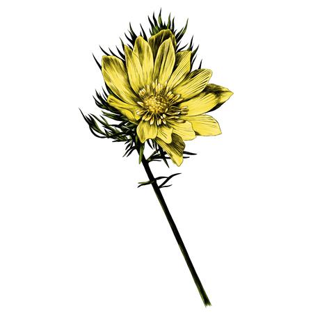 アドニスの花の枝は明るいサニースケッチベクトルグラフィックスカラー画像を発芽 写真素材 - 96185896