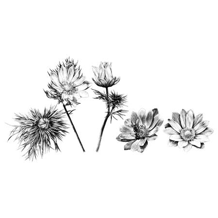 Adonis flower branch sprout petals sketch vector