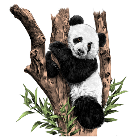 Panda rests on a branch hugging the sheets of sketch vector graphics color picture