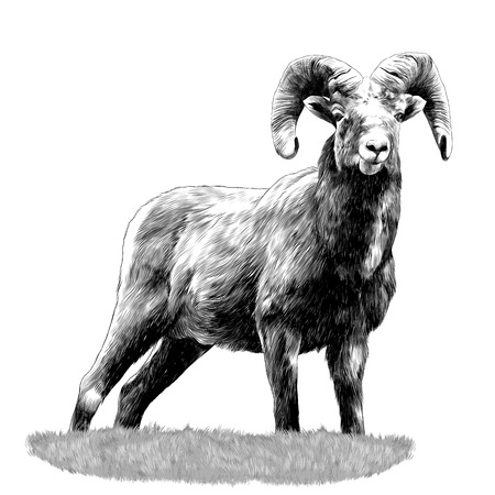 A sheep standing in the grass sketch graphics black and white drawing