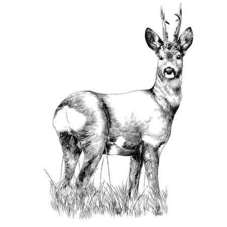 Deer stands in the dry grass sketch vector graphics monochrome drawing Illustration