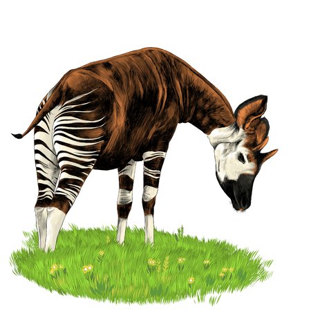 Okapi stands on the lawn and eating grass sketch vector graphics color picture Illustration
