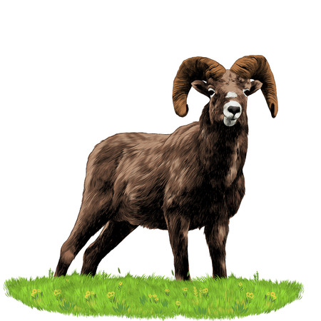 A sheep standing in the grass sketch vector graphics color picture