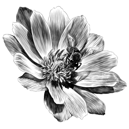 Adonis flower branch sprout petals. Sketch vector. Illustration