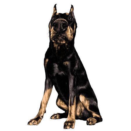 犬の品種ドーベルマンは、フルレングススケッチベクトルグラフィックスカラー画像に座っています