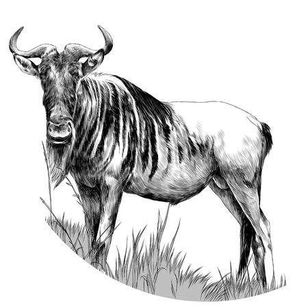 雄牛は、乾燥した草スケッチベクトルグラフィックスモノクロ図面に立っています