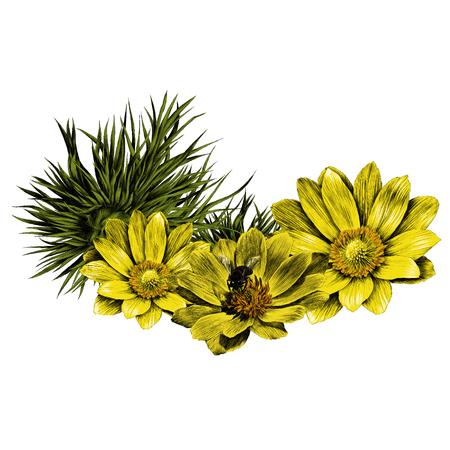 アドニスの花の枝は明るいサニースケッチベクトルグラフィックスカラー画像を発芽  イラスト・ベクター素材