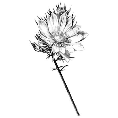 Adonis flower branch sprout petals a bright Sunny sketch vector graphics monochrome black-and-white drawing