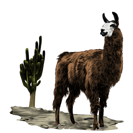Lama stands in the desert on the sand near the cactus sketch vector graphics color picture