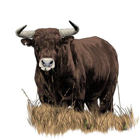 Bull szkic kolorowy obraz grafiki wektorowej