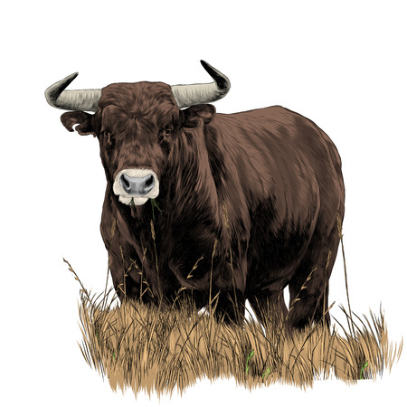 Bull sketch vector graphics color picture Vettoriali