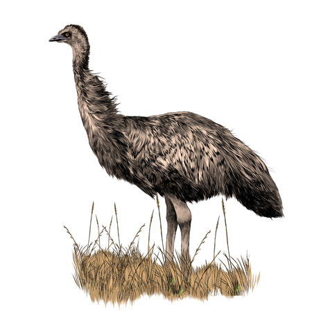 the EMU stands in the dry grass sketch vector graphics color picture