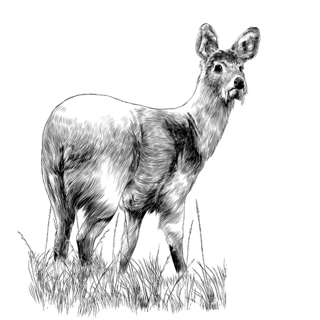 Musk deer with fangs is in the dry grass sketch vector graphics monochrome drawing
