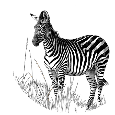 Zebra standing in the dry grass sketch vector graphics monochrome drawing