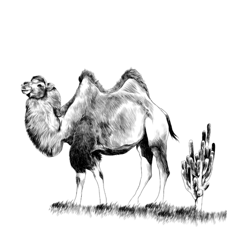 Bactrian camel in the grass next to the cactus is the sketch vector graphics monochrome drawing